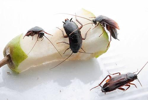 Blattes noires en train de manger un bout de poire