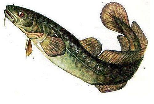 poisson de lotte