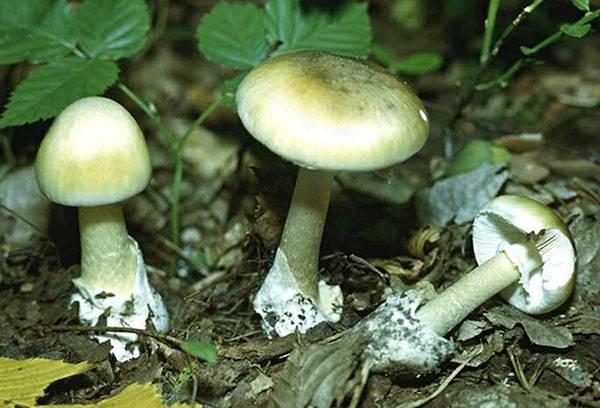 Champignons pâles