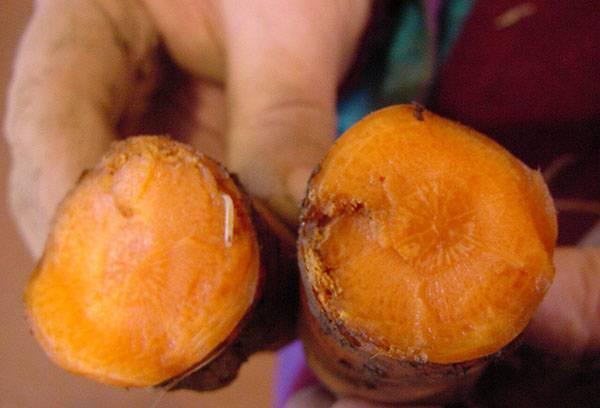 Larve de mouche carotte