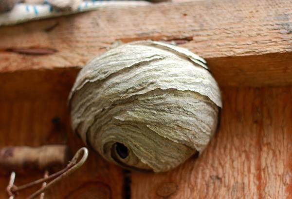 Grand nid de frelons