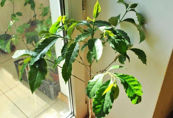 stablo kave domaće uz prozor