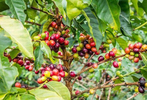 Voće stabla kave