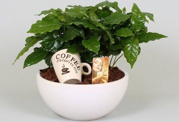 Stablo domaće kave