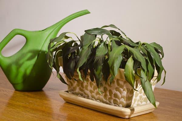 Plante d'intérieur flétrie