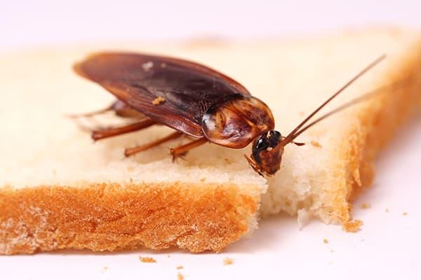 Cafard sur un morceau de pain