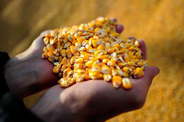 Grains de maïs