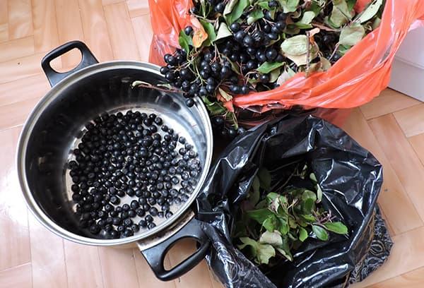 Récolte des baies de chokeberry