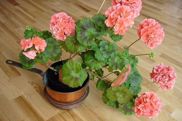 Géranium en fleurs