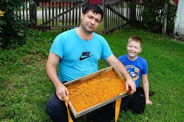 Père et fils à la récolte de l'argousier