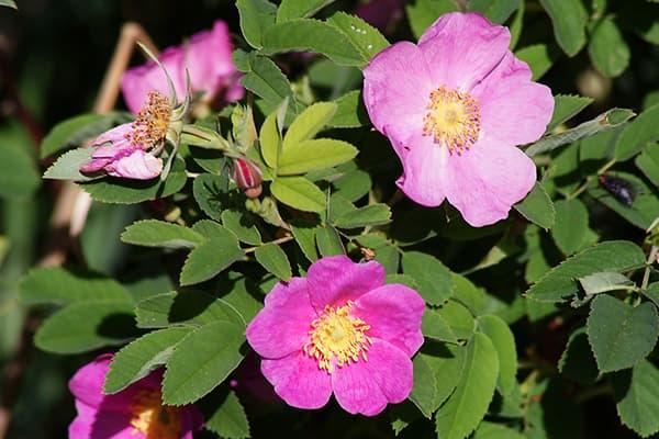 Rose Musquée Mai