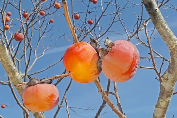Kaki sur une branche