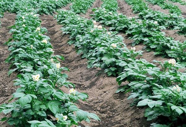 Aardappel groeien