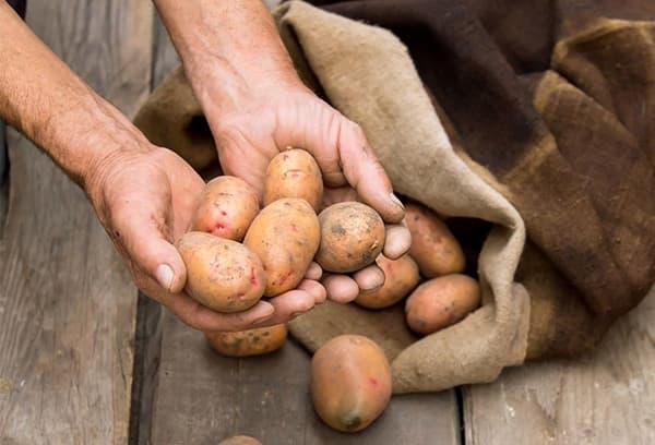 Middelgrote aardappelen